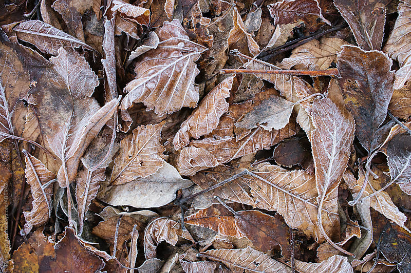 Frozen leaves background by Pixel Stories for Stocksy United