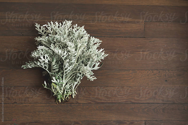 A Bunch Of Dusty Miller Plants by Alison Winterroth for Stocksy United