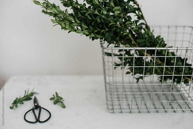 Holiday decor preparation with greenery boxwood, wire basket and vintage scissors by Daring Wanderer for Stocksy United