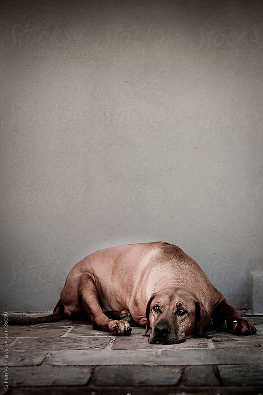 old male rhodesian ridgeback by Gillian Vann for Stocksy United