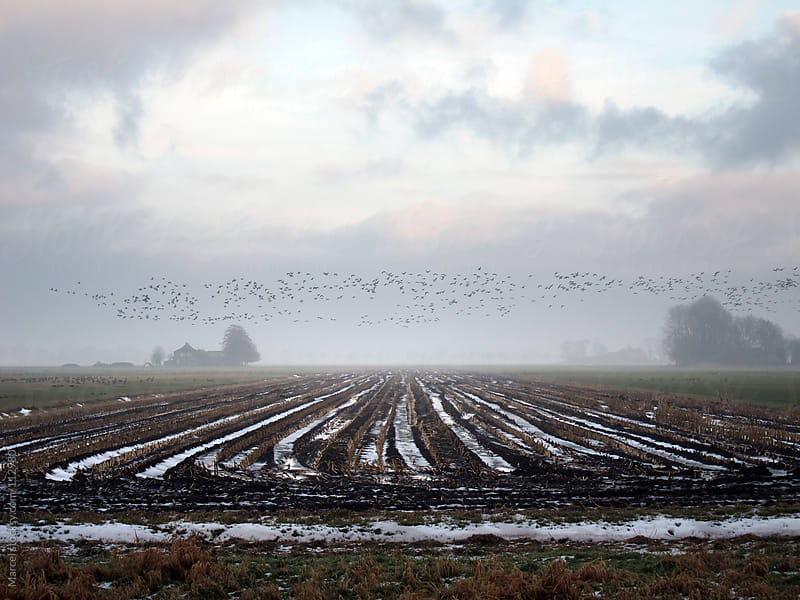 Geese flying over  rural field by Marcel for Stocksy United