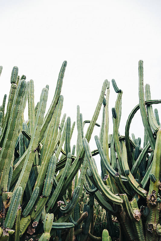 Large Cactus Garden by Gary Parker for Stocksy United