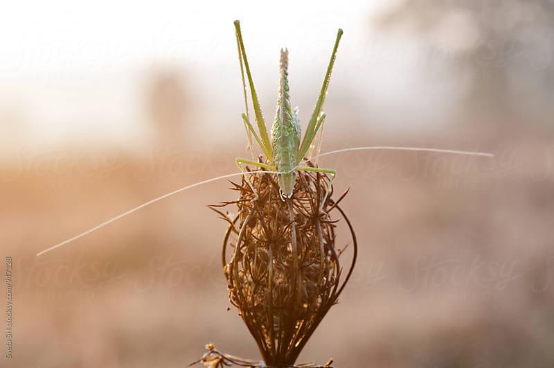 Acrida bicolor by Svetlana Shchemeleva for Stocksy United