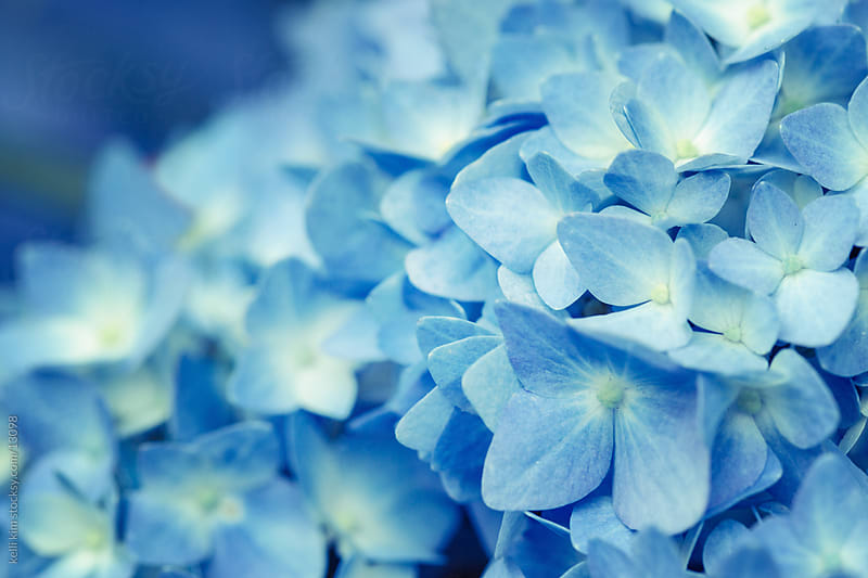 A flowering blue hydrangea by kelli kim for Stocksy United