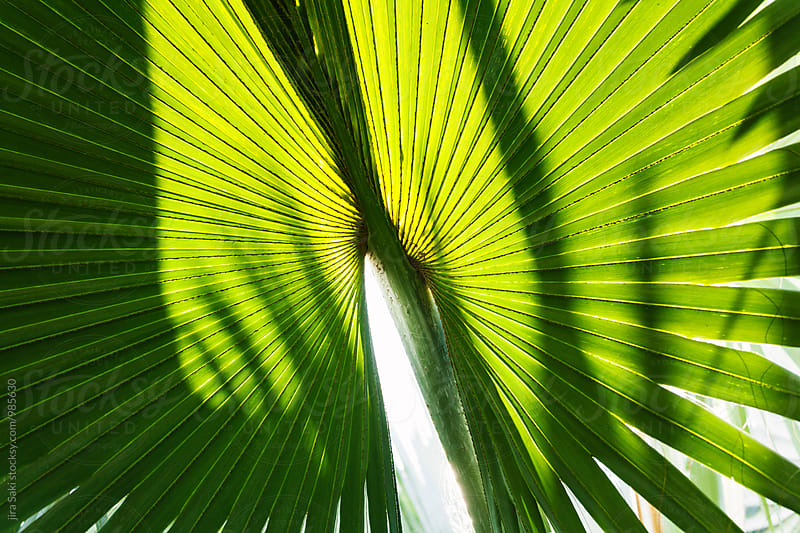 tropical palm tree leaf by jira Saki for Stocksy United