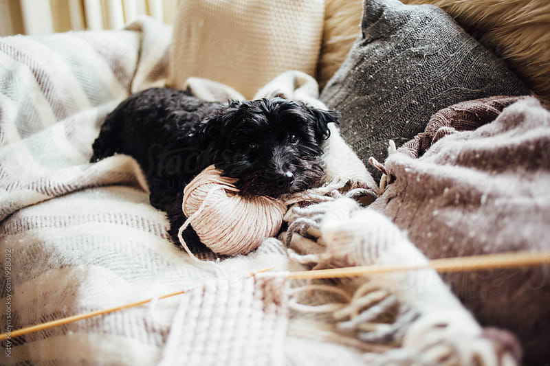 Little dog using yarn as a pillow by Kitty Gallannaugh for Stocksy United