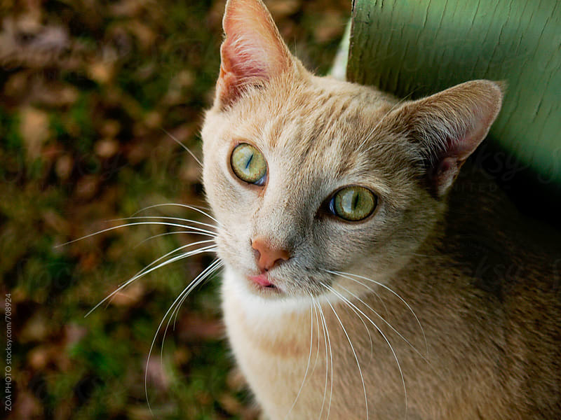 Cat looking at the camera by ZOA PHOTO for Stocksy United