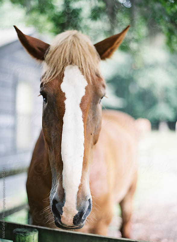 Farm Horse  by Vicki Grafton Photography for Stocksy United