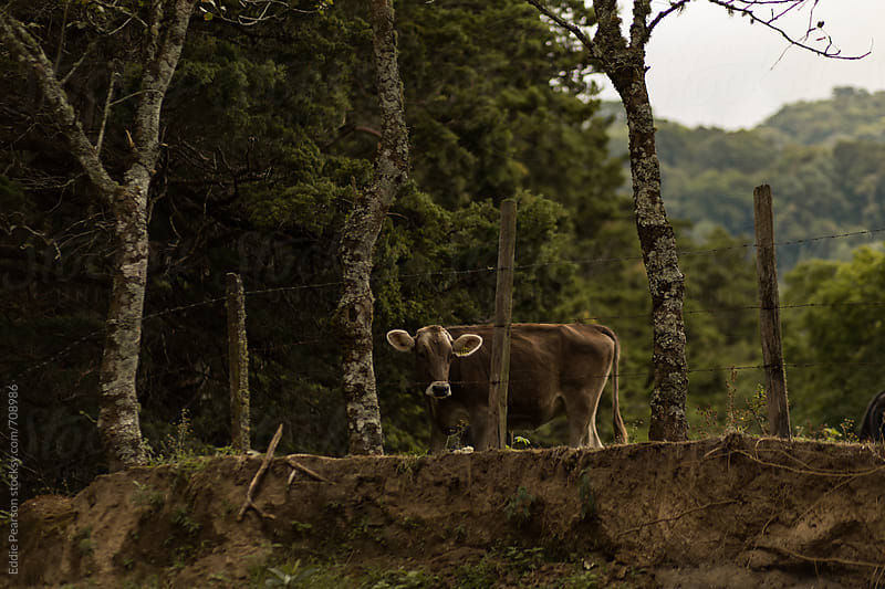 Close encounter with a cow in Panama by Eddie Pearson for Stocksy United