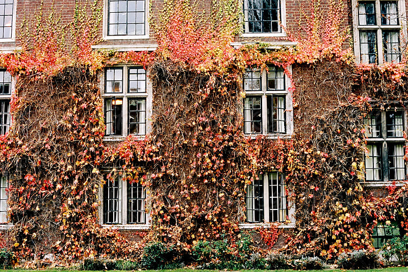 Virginia Creeper growing up an old building by Helen Rushbrook for Stocksy United