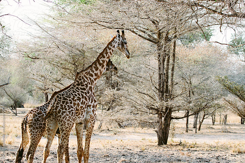 Giraffes among trees in the Selous game reserve, Tanzania. by Helen Rushbrook for Stocksy United