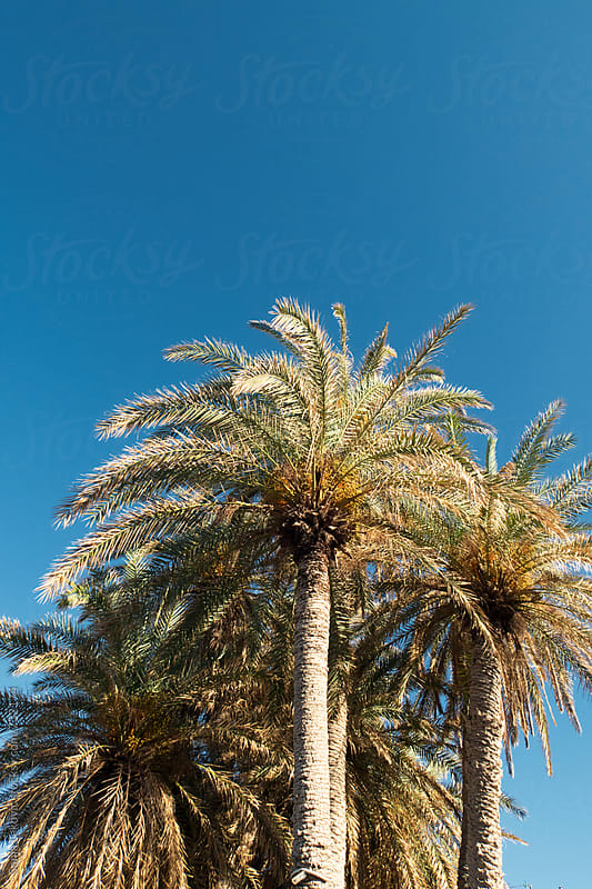 palm trees and blue sky with copyspace by Sonja Lekovic for Stocksy United