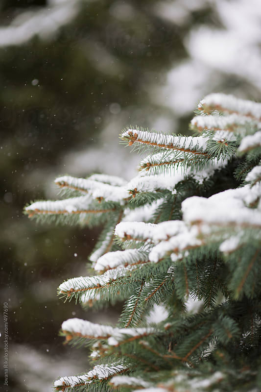 Fir covered in snow by Jovana Rikalo for Stocksy United