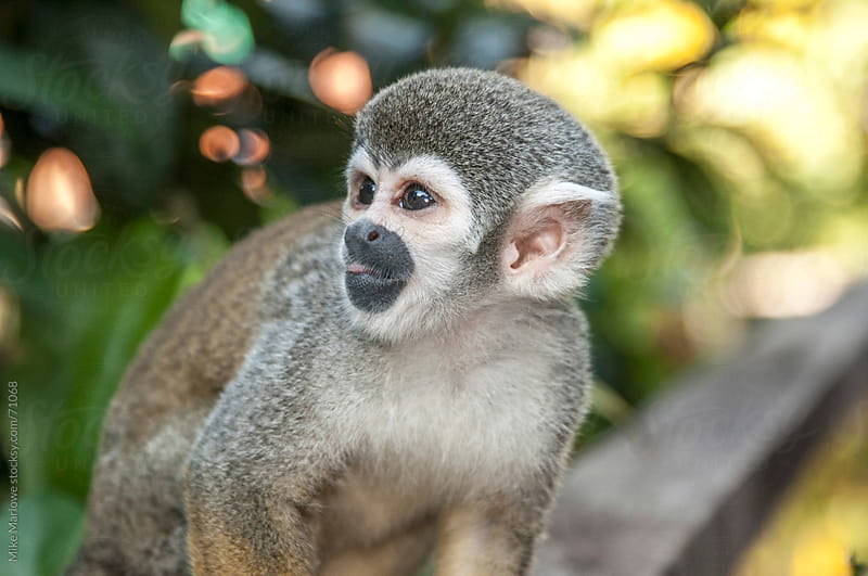 Profile shot of a small monkey. by Mike Marlowe for Stocksy United