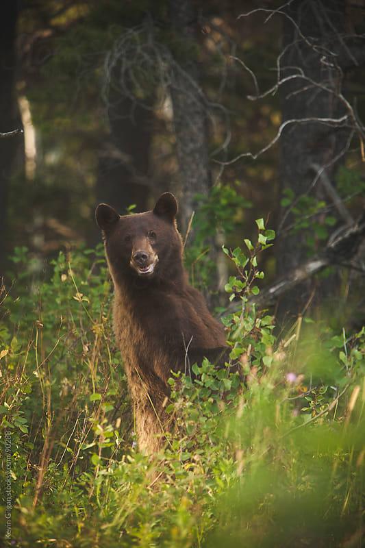 Cinnamon Black Bear by Kevin Gilgan for Stocksy United