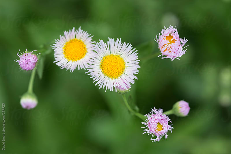 Daisy Fleabane flower heads against out-of-focus background by David Smart for Stocksy United