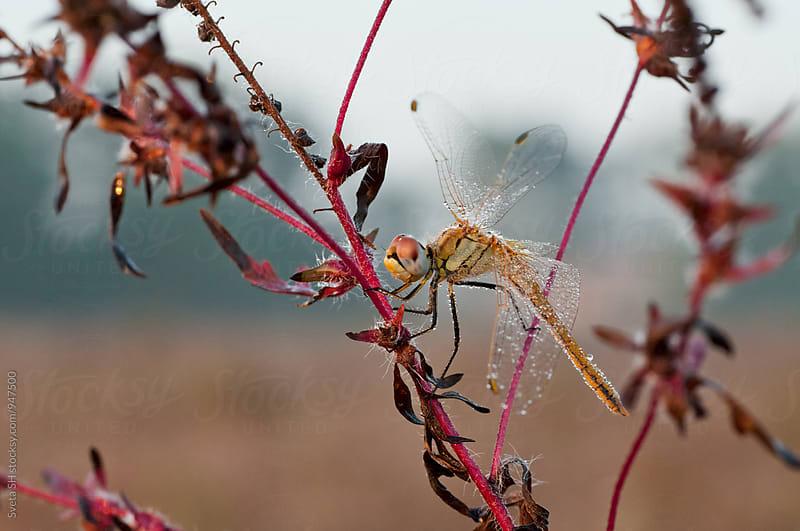 Dragonfly on a stalk of grass by Svetlana Shchemeleva for Stocksy United