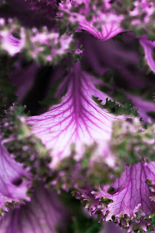 purple kale leaves and veins by Deirdre Malfatto for Stocksy United