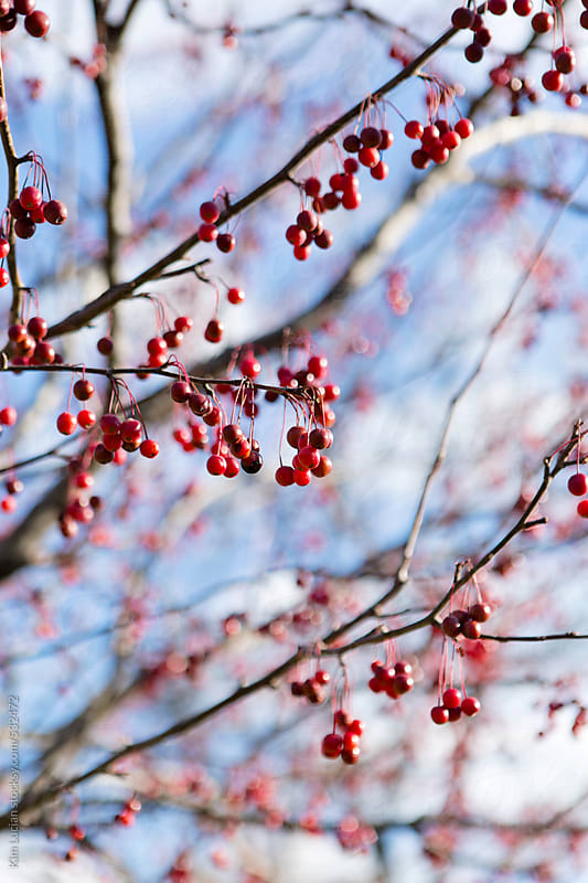 Red winter berries on tree by Kim Lucian for Stocksy United