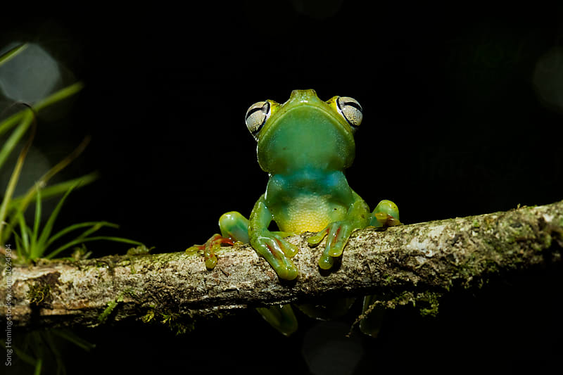 Portrait of  tree frog smiling by Song Heming for Stocksy United