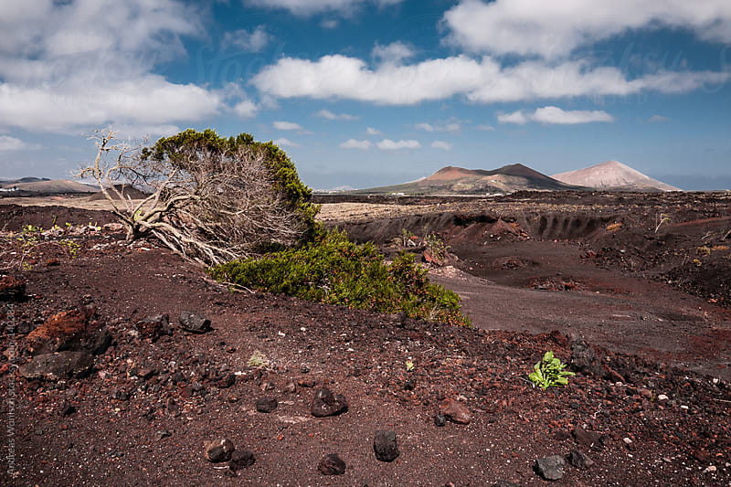 Lonely tree in volcanic Landscape on Lanzarote by Andreas Wonisch for Stocksy United