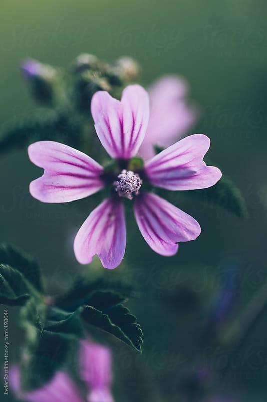 lilac wild flower by Javier Pardina for Stocksy United