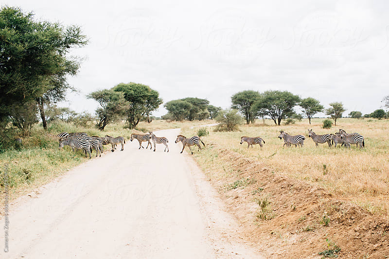 zebras crossing road in Tanzania by Cameron Zegers for Stocksy United
