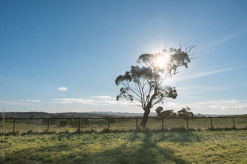 afternoon sun on an old gum tree on a farm in country Australia by Gillian Vann for Stocksy United