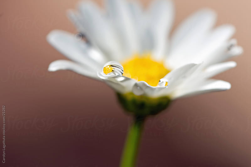 Daisy with a refracted droplet on the petal by Carolyn Lagattuta for Stocksy United