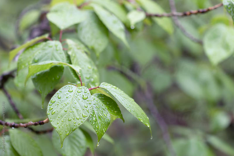 Cherry tree leaves after the rain by Kerry Murphy for Stocksy United