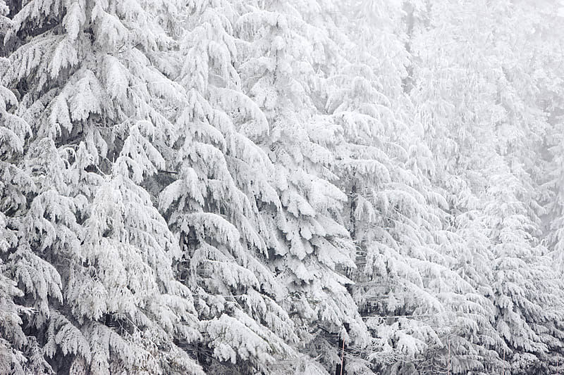 Snowy Trees by Kevin Russ for Stocksy United