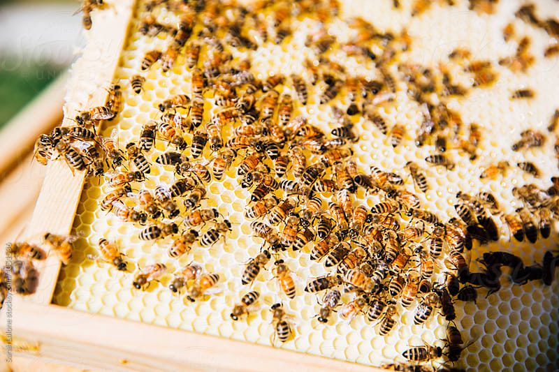 Bees on a honeycomb frame by Sarah Lalone for Stocksy United