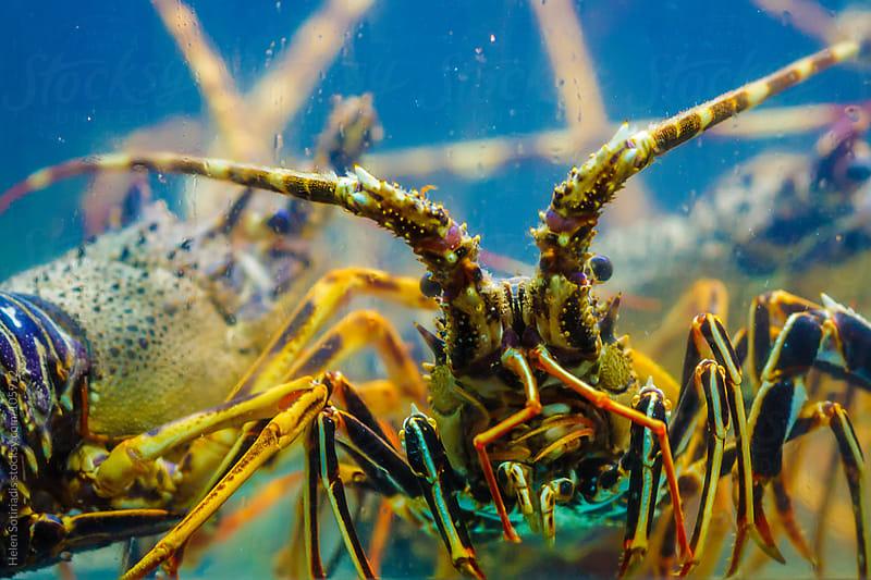 Lobster in an Aquarium by Helen Sotiriadis for Stocksy United