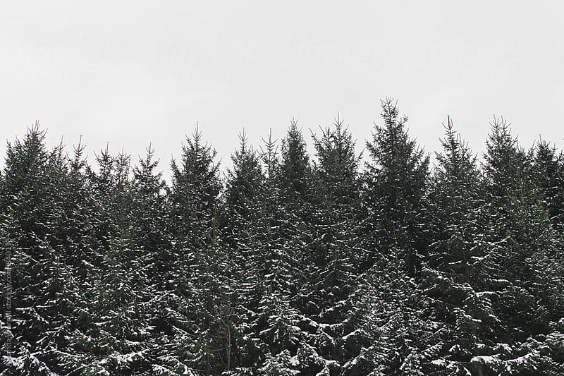 Horizontal shot of large snow-covered evergreen trees on a winter day by Amanda Worrall for Stocksy United