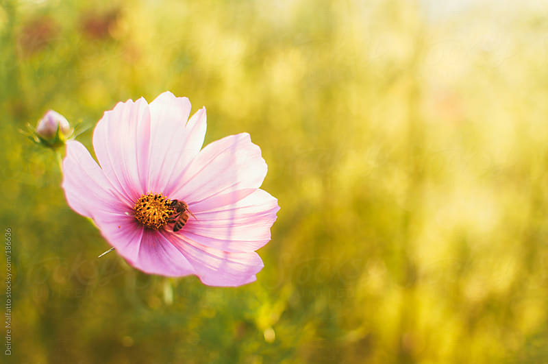 pink cosmo flower with a bee by Deirdre Malfatto for Stocksy United