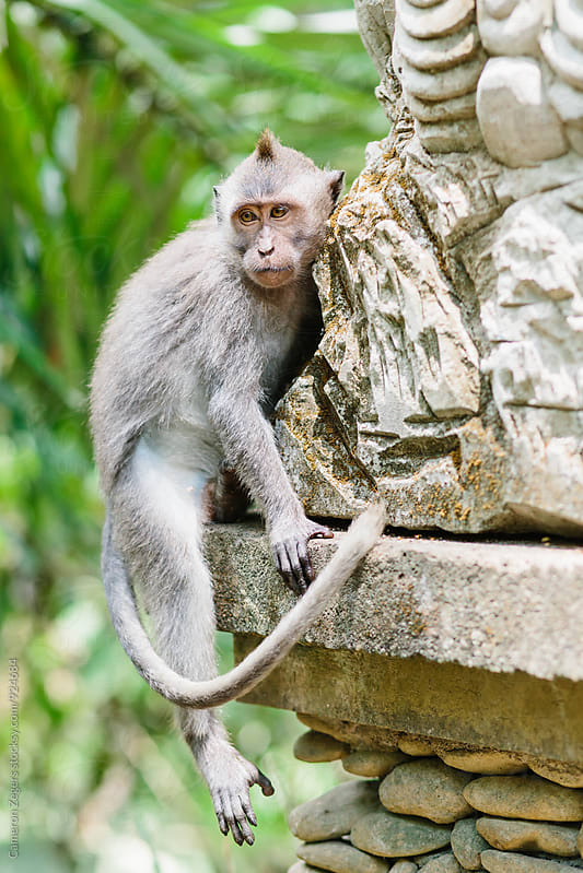 monkey sitting on statue in Ubud Monkey Forest by Cameron Zegers for Stocksy United