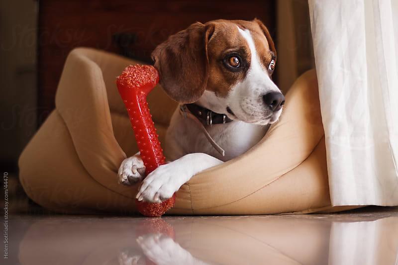 Beagle by Helen Sotiriadis for Stocksy United