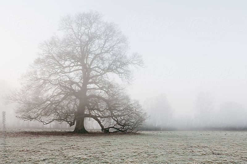 Tree in a frost covered field on a foggy morning. Norfolk, UK. by Liam Grant for Stocksy United