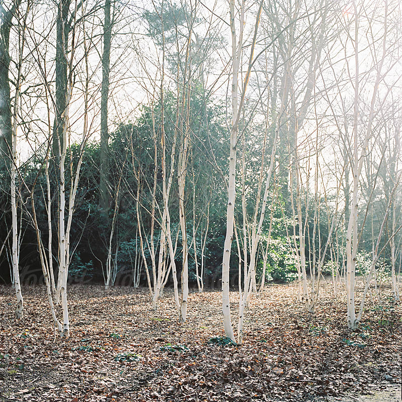 Silver Birch in Spring by Andrew Spencer for Stocksy United
