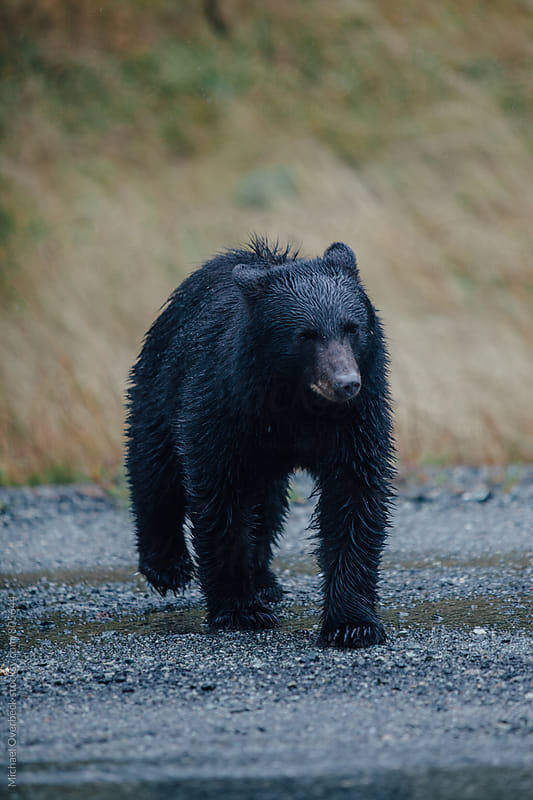 A Black Bear by Michael Overbeck for Stocksy United