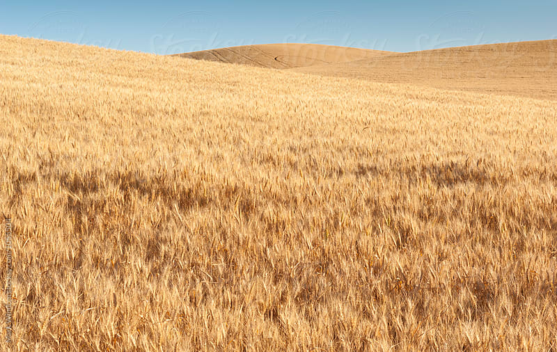 Ripened wheat field in the Palouse by Mark Windom for Stocksy United