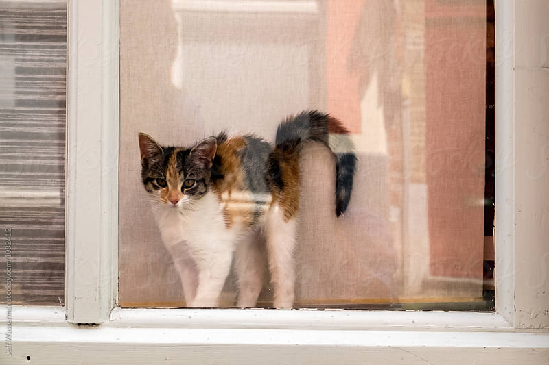 Kitten in Window by Jeff Wasserman for Stocksy United