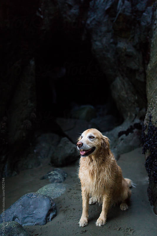 Golden retriever in a beach cave by Christian Tisdale for Stocksy United