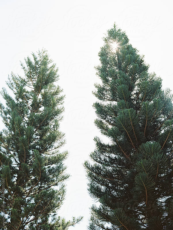 two pine trees with sun behind them by wendy laurel for Stocksy United