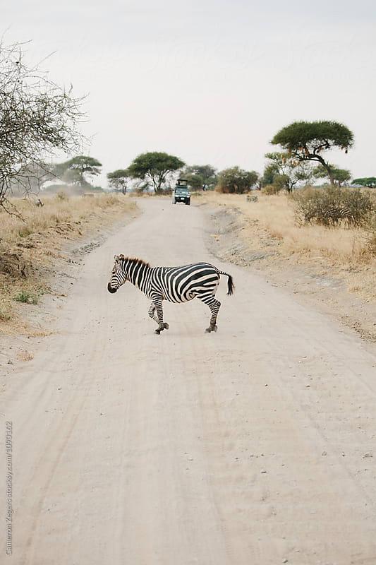 zebra walking across road by Cameron Zegers for Stocksy United