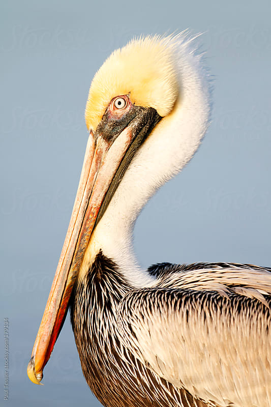 Brown Pelican by Paul Tessier for Stocksy United