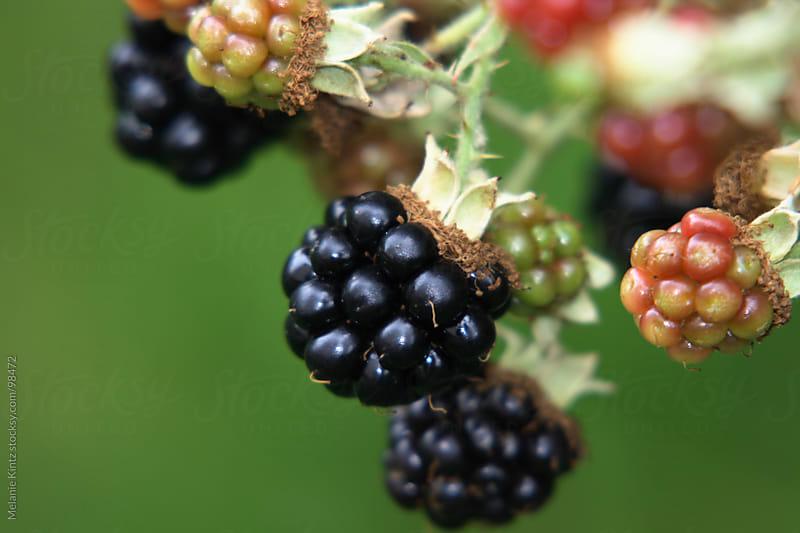 Blackberries on a branch in the garden by Melanie Kintz for Stocksy United