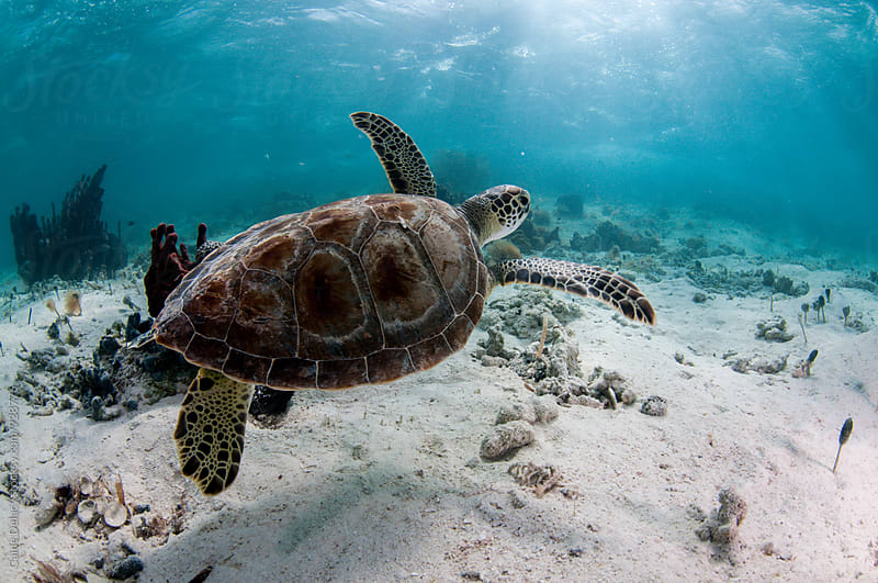 Close up of sea turtle swimming to the right  by Caine Delacy for Stocksy United