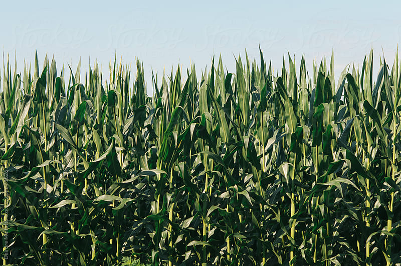 field of cornstalks under a blue sky by Deirdre Malfatto for Stocksy United