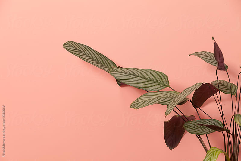 plant in a pink room by Ulaş and Merve for Stocksy United